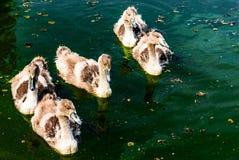 Schwanküken auf der Donau Stockfoto