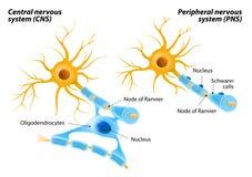 Schwann celler och Oligodendrocytes Royaltyfria Bilder