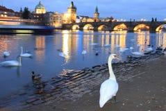 Schwannacht in Prag Lizenzfreies Stockfoto