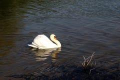 Schwanschwimmen auf einem Fluss lizenzfreie stockfotografie