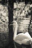 Schwanschwimmen in einem See mit vielen Reflexionen stockfotografie