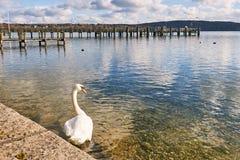 Schwanschwimmen im See Starnberg stockfotos