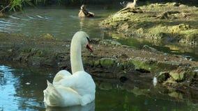 Schwanschwimmen im Teich stock footage