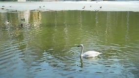 Schwanschwimmen im Teich unter Enten im Vorfrühling stock footage