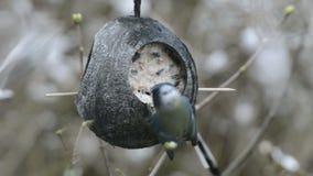 Schwanzmeise Aegithalos-caudatus und Eurasierblaumeise Cyanistes-caeruleus, das nach Samen auf Vogelzufuhr im Winter sucht Co stock footage
