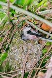 Schwanzmeise am Nest in den Büschen Lizenzfreie Stockfotografie