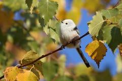 Schwanzmeise am sonnigen Tag des Herbstes Lizenzfreies Stockfoto