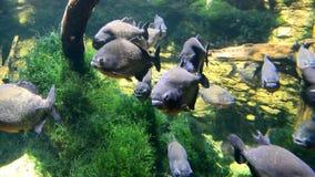 Schwarm der Piranhafisch-Wartefütterung stock video