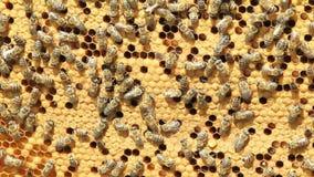Schwarm des Bienenerzeugnishonigs stock video
