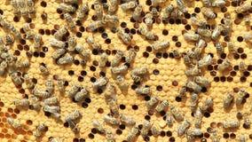 Schwarm des Bienenerzeugnishonigs stock video footage