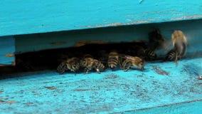 Schwarm von Bienen stock video