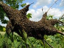 Schwarm von Bienen Lizenzfreies Stockfoto