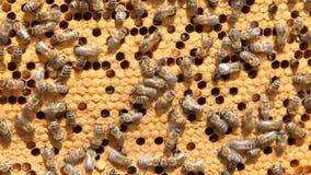 Schwarm von Bienen stock video footage