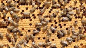Schwarm von Bienen stock footage