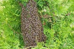 Schwarm von Bienen auf dem Arborvitae Stockfotografie