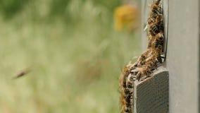 Schwarm von Bienen fliegt in den Bienenstock im Garten auf Natur, Bienenzucht, wildes Leben von Insekten, Schönheitsbegriff in de stock footage