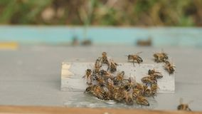 Schwarm von Bienen fliegt in den Bienenstock im Garten auf Natur, Bienenzucht, wildes Leben von Insekten, Schönheitsbegriff in de stock video footage