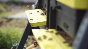 Schwarm von Bienen liefern den Nektar, der um Bienenstock fliegt stock video