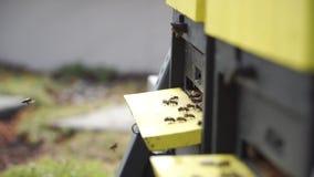 Schwarm von Bienen liefern den Nektar, der um Bienenstock fliegt stock footage