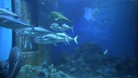 Schwarm von des Großauges Fischen trevally im Aquarium stock video footage