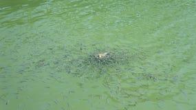 Schwarm von Fischen Garra Rufa im Fluss Lizenzfreie Stockfotografie