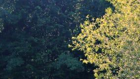 Schwarm von Moskitos im Wald stock footage