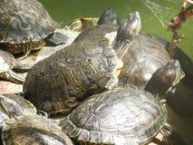 Schwarm von Schildkröten Lizenzfreies Stockbild