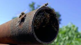 Schwarm von Wespen in den Bienenstöcken in einem Metallrohr gegen einen blauen Himmel Mittlere Wespe Dolichovespula-Medien nest4k stock video