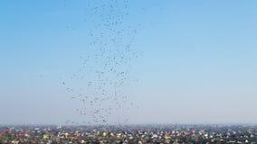 Schwarm von Zuckmücken fliegt über die Wiese auf der Suche nach Nahrung Landwirtschaftliche Landschaft stock footage