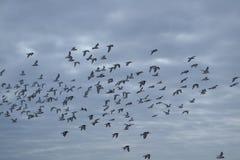 Schwarmseemöwen über Holländern Northsea Stockbilder