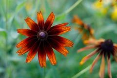 Schwarz-äugige Susan-Blüte im Garten lizenzfreie stockbilder