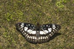 Schwarz-Adersergeant, Athyma-ranga, Namdapha Tiger Reserve, Arunachal Pradesh, Indien lizenzfreies stockfoto