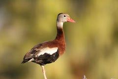 Schwarz-aufgeblähte Pfeifen-Ente Stockfotos
