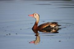 Schwarz-aufgeblähte Pfeifen-Ente Lizenzfreie Stockfotografie
