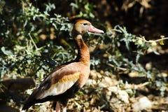 Schwarz-aufgeblähte pfeifende Ente Stockfoto