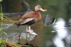 Schwarz-aufgeblähte pfeifende Ente Lizenzfreies Stockfoto