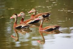 Schwarz-aufgeblähte pfeifende Enten stockbild