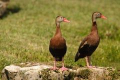 Schwarz-aufgeblähte pfeifende Enten Lizenzfreies Stockfoto
