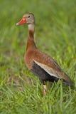 Schwarz-aufgeblähte pfeifende Ente Stockfotografie