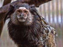 Schwarz-büscheliges Seidenäffchen, Callithrix penicillata, hat große Haarbürsten auf seinem Kopf Lizenzfreie Stockfotos