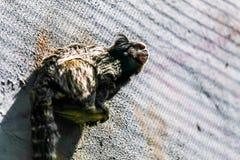 Schwarz-büscheliges Seidenäffchen des Affen Stockfotos