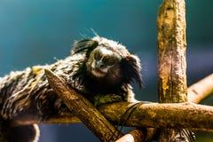 Schwarz-büscheliges Seidenäffchen des Affen Stockbild