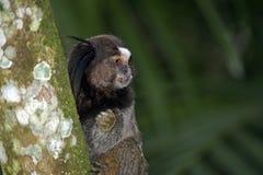 Schwarz-büscheliges Seidenäffchen, endemischer Primas von Brasilien Lizenzfreies Stockfoto