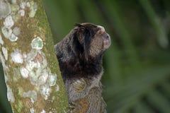 Schwarz-büscheliges Seidenäffchen, endemischer Primas von Brasilien Stockfotografie