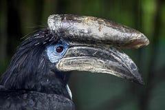 Schwarz--casqued Hornbill ` s Kopf Stockfotografie