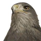 Schwarz-chested Bussard-Adler () - Geranoaetus melan Lizenzfreie Stockfotos