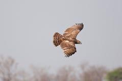Schwarz-chested Schlange-Eagle Stockbild