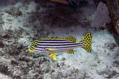Schwarz-entfernte gelbe Fische Stockfotografie