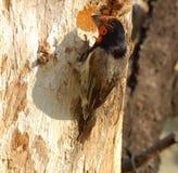 Schwarz-ergatterter Barbet (Lybius torquatus) lizenzfreies stockbild