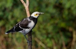 Schwarz-ergattertes Starling. Stockbild